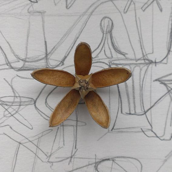 semilla de cedro